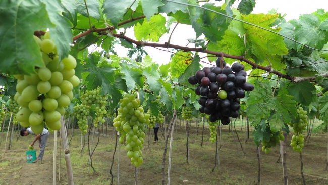 Fruit-laden vineyards, must-discover attraction in Ninh Thuan