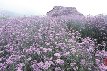 enchanting violet flowers colors the dreamy northern town of sapa