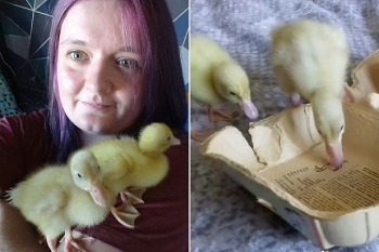 british woman can hatch ducklings from supermarket eggs