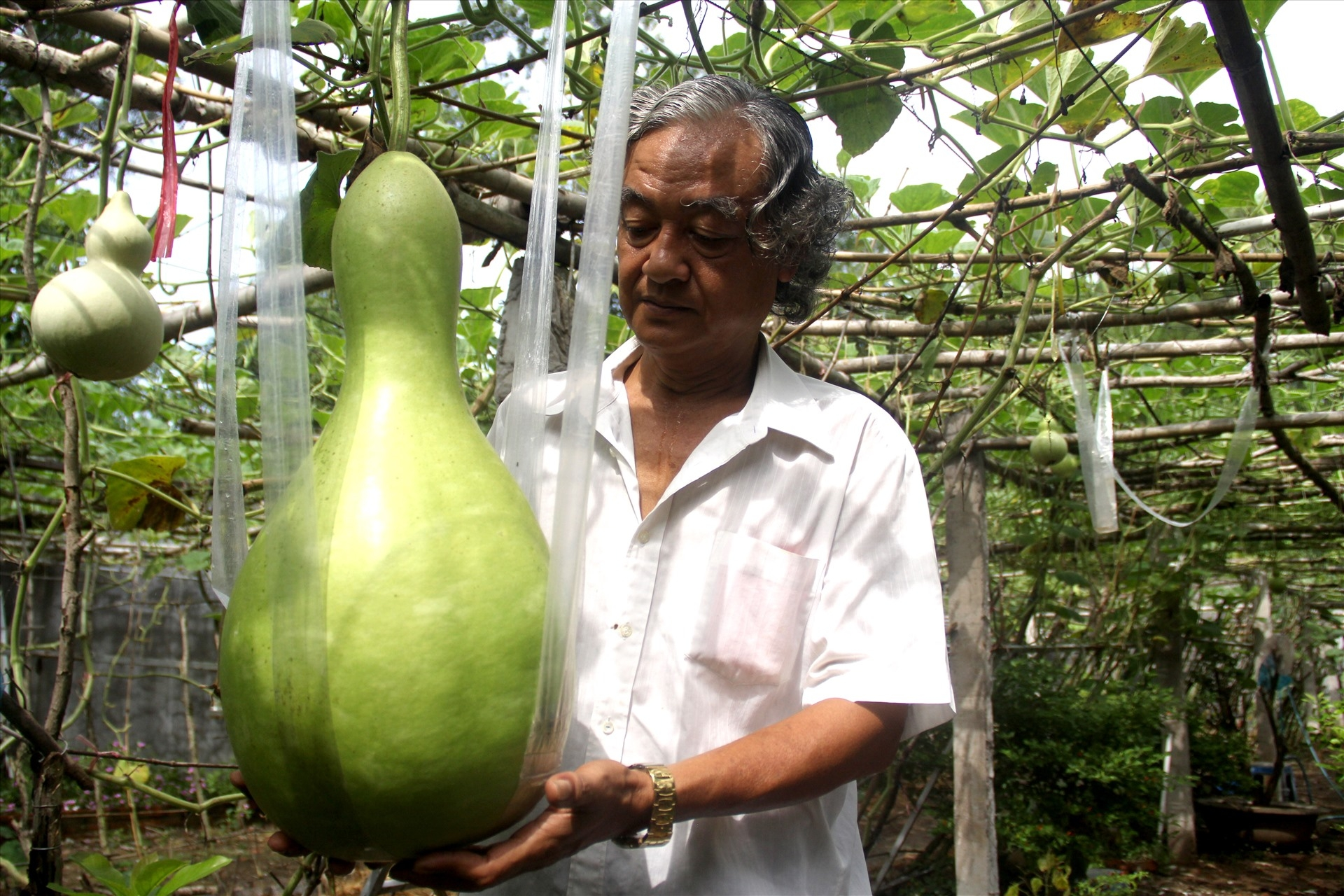 unique 25kg giant gourds in can tho southern vietnam