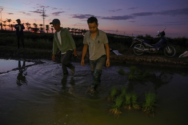 vietnamese farmers transplant rice seedlings at night to avoid scorching heat