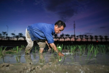 vietnamese farmers transplant rice seedlings at night to avoid scorching heat