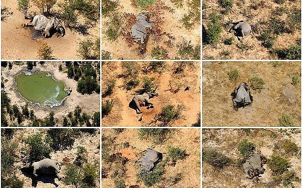 Hundreds of elephants found dead in Botswana, how to save wildlife