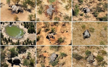 hundreds of elephants found dead in botswana how to save wildlife
