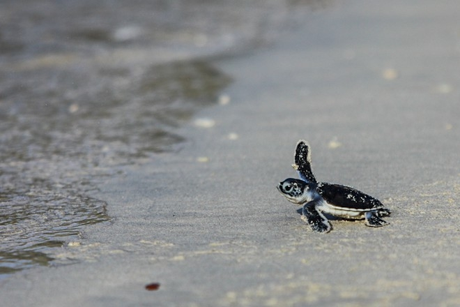 bustling sea turtle nesting season in con dao