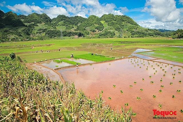 vietnam top destination moc chau rice paddy fields glitters in watery season