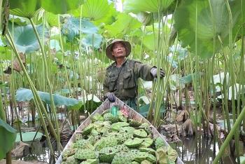 lotus seeds harvest season in ha nam province