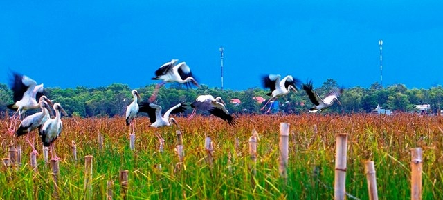 stunning scene as thousands of rare storks flock say swamp central vietnam