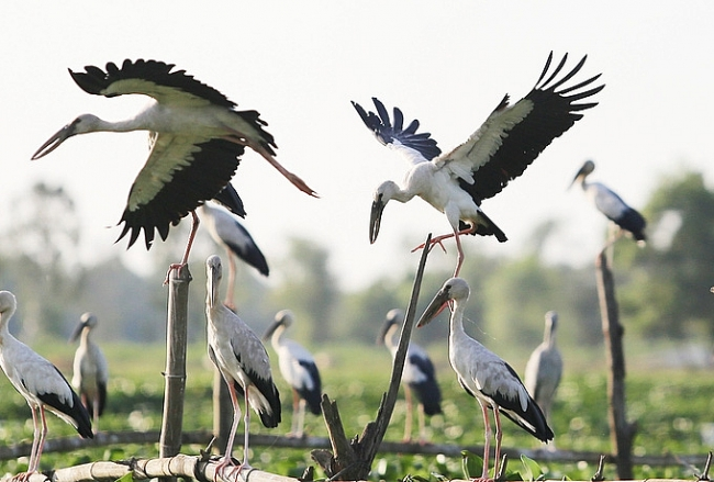 Stunning scene as thousands of rare storks flock Say swamp, central Vietnam