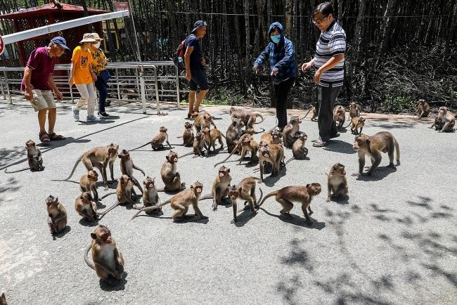 Tourist destination flocked with thousands of monkeys