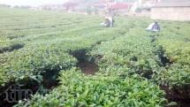 moc chau spacious tea hills