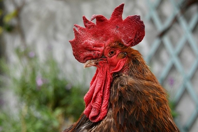 74,000 sign petition calling for justice for French murdered rooster