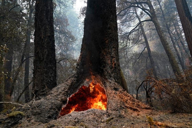 Fire burns in the hollow of an old-growth redwood tree after the CZU August Lightning Complex Fire passed through Monday, Aug. 24, 2020, in Big Basin Redwoods State Park, Calif.