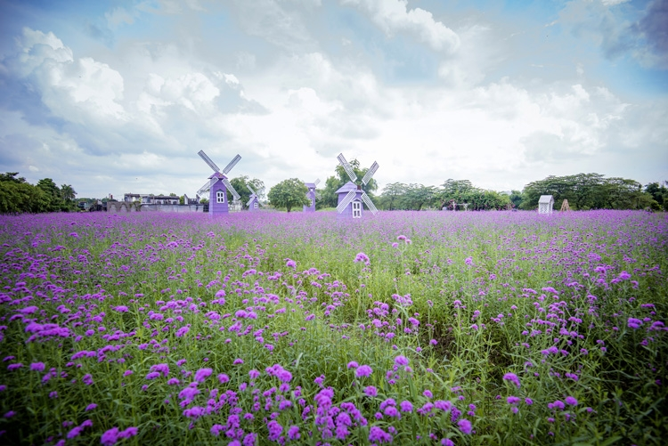 hanois lavender garden romantic check in place for youngsters