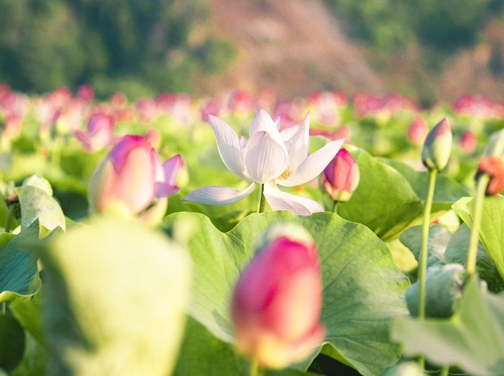 lotus brings charm to the northen province of ninh binh