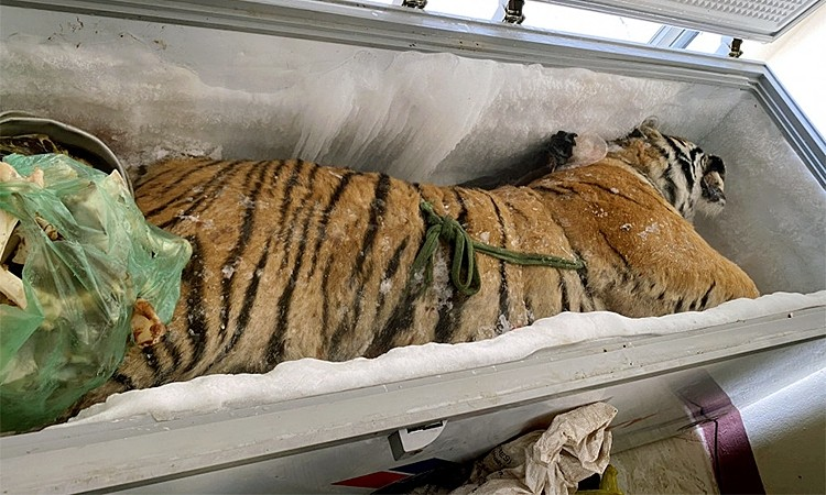 Dead Tiger Found inside a Freezer in Ha Tinh Province