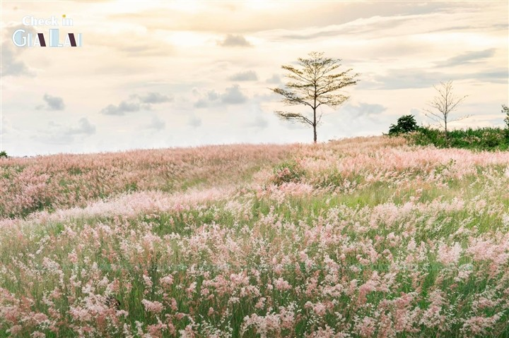 The Pink Grass Fields of Gia Lai