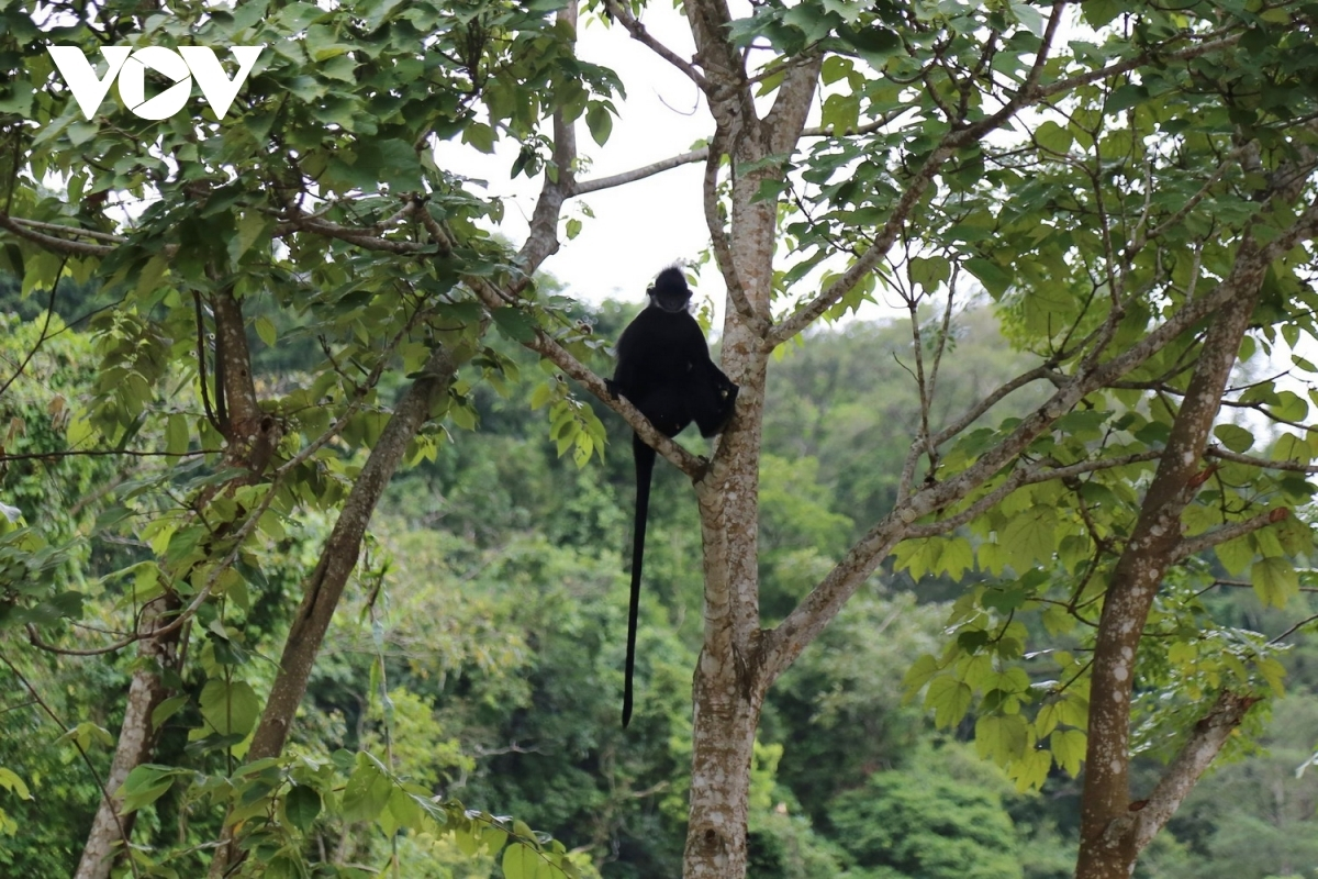 stray langurs attack passers by on roads