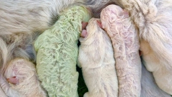 rare puppy born with green fur in italy