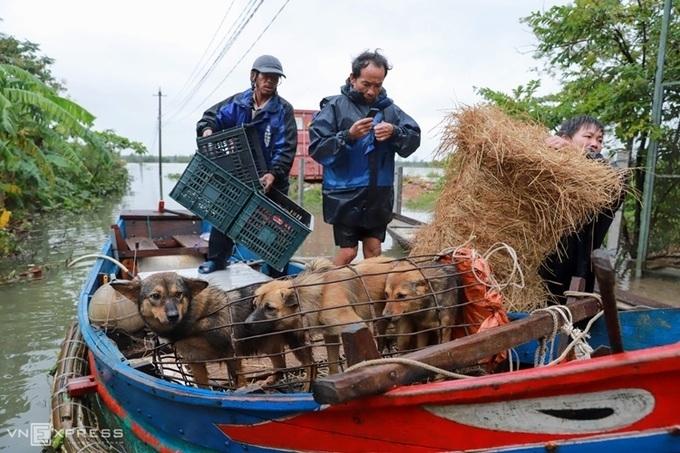 Locals evacuating their animals (Photo: VNE)