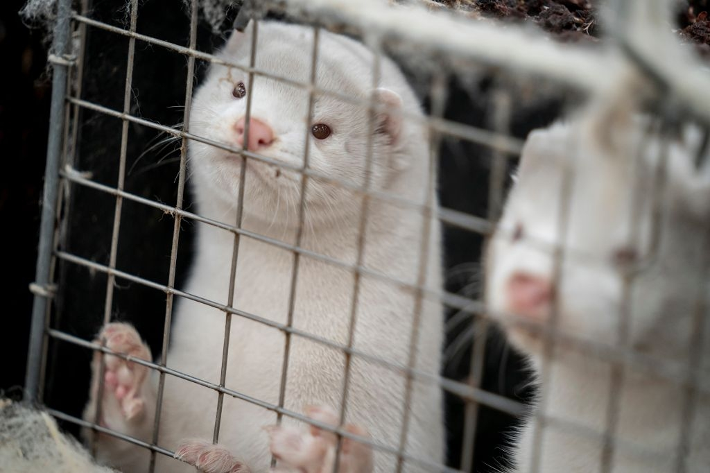A mutant strain of the coronavirus linked to minks could risk the success of impending vaccines (Photo: New York Post)