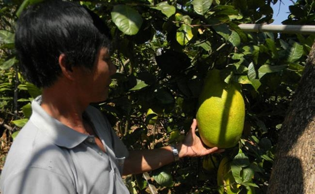Weirdly giant fruits in Vietnam lesser known to local people