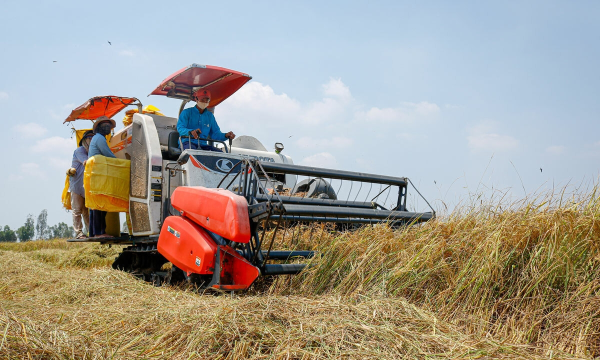 A worker harvesting rice on the field (Photo: VNE)