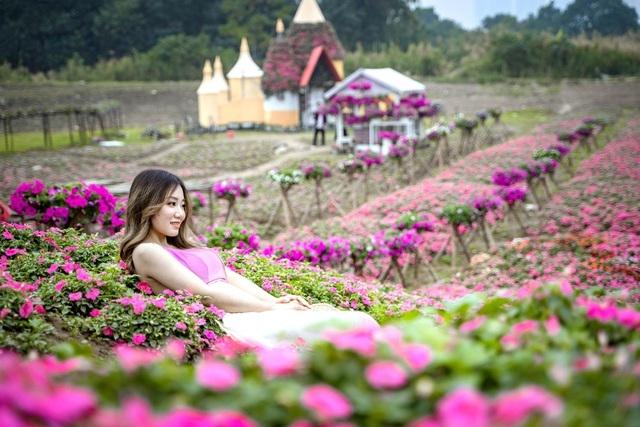 Purple carpet of impatiens walleriana for a sense of romance in Hanoi