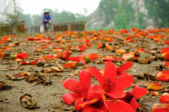 Stunninng beauty of red silk cotton flowers in March