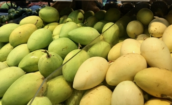 Vietnamese mangoes imported into US grow up