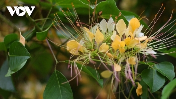 in photos rustic beauty of caper flowers on the kien giang riverbank