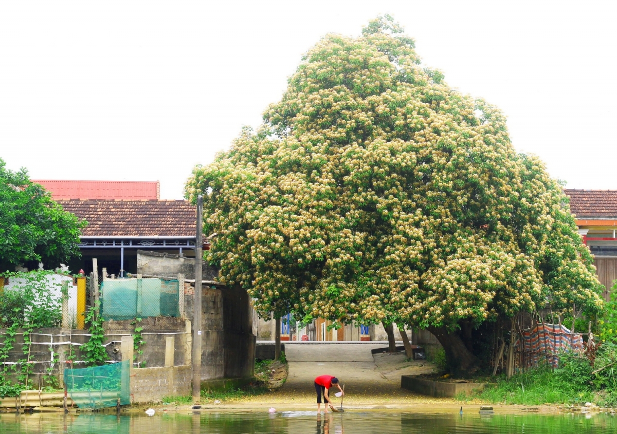In photos: Rustic beauty of caper flowers on the Kien Giang riverbank