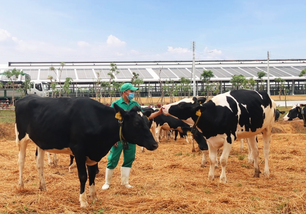 Vietnamese dairy giant imports over 2,100 dairy cows from the US