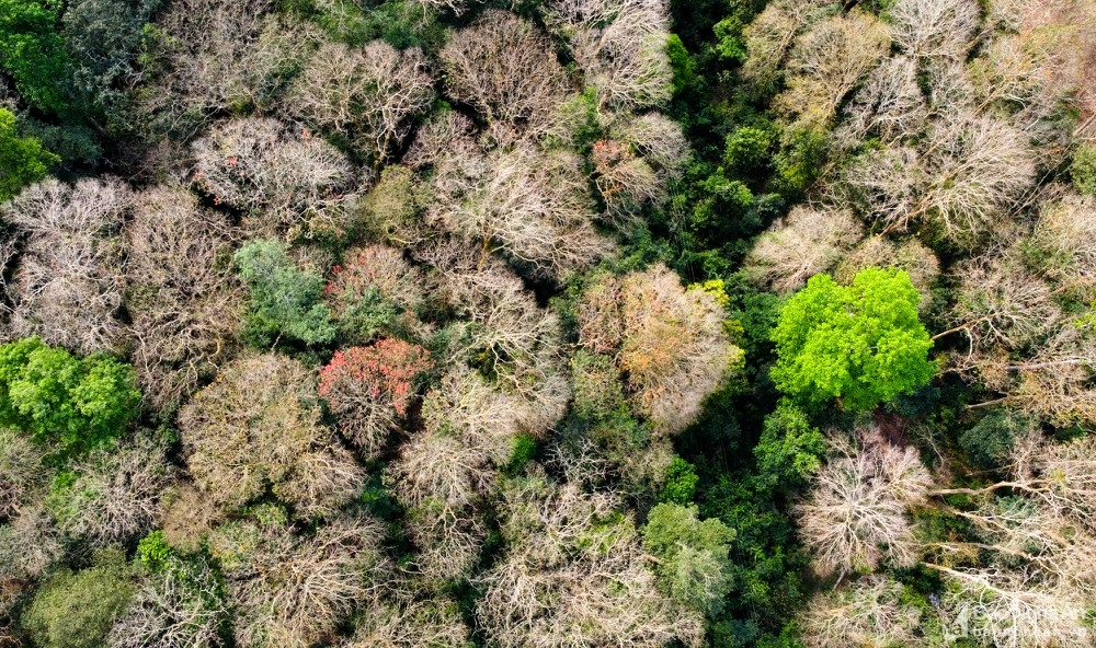 In photos: Spectacular Lagerstroemia tomentosa forest in the central Vietnam from bird-eye view