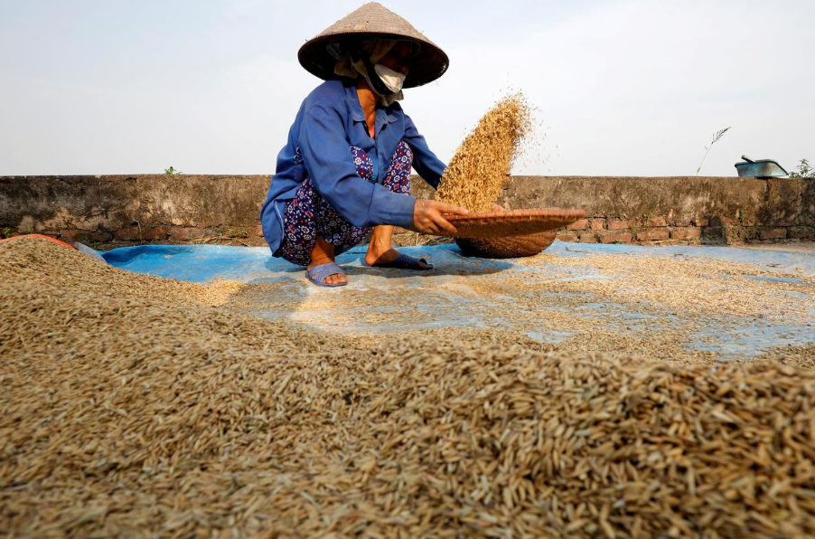 vietnam rice export price hit 9 years peak thailand rates dip