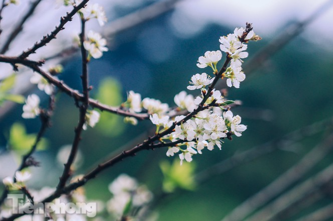 Plum blossoms turns Moc Chau into a white paradise