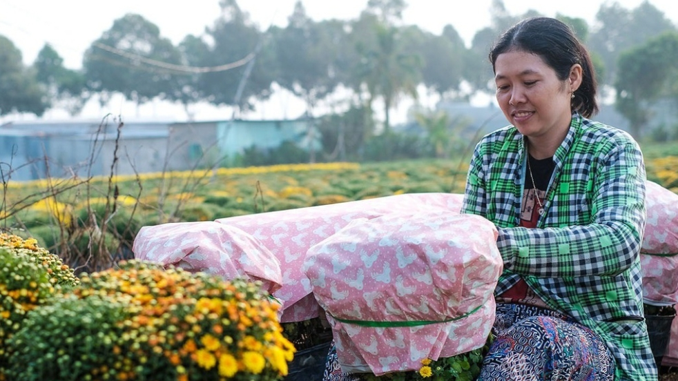 daisy blossoms glow sa dec village as tet gets closer