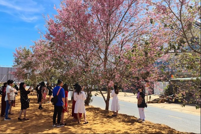 Vibrant Da Lat in pink hue of cherry blossom as Tet coming close