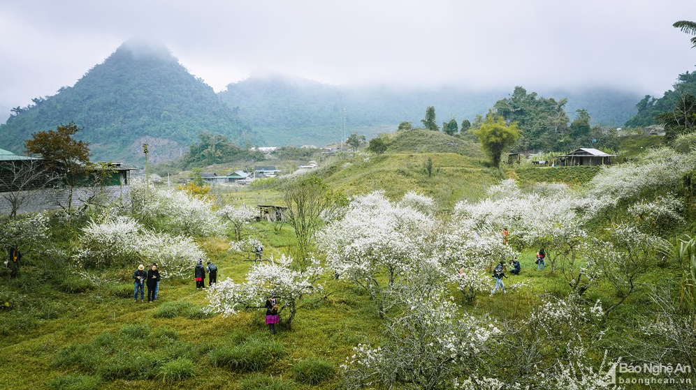 western nghe an dyed white by full bloomed plum flowers