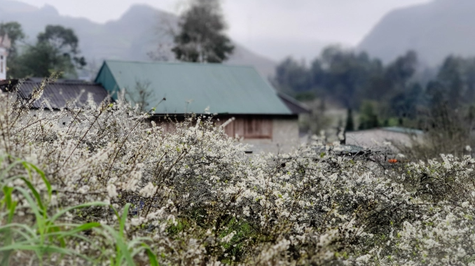 White plum flowers bloom in Bac Ha valley