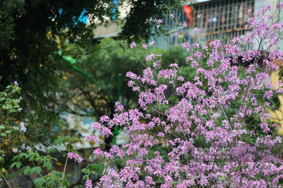 northwest mountain ebony bloom briliantly in hanoi