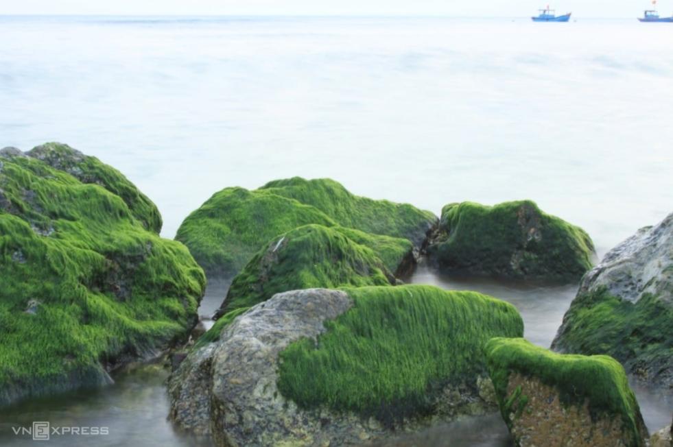 Moss season in Ly Son Island