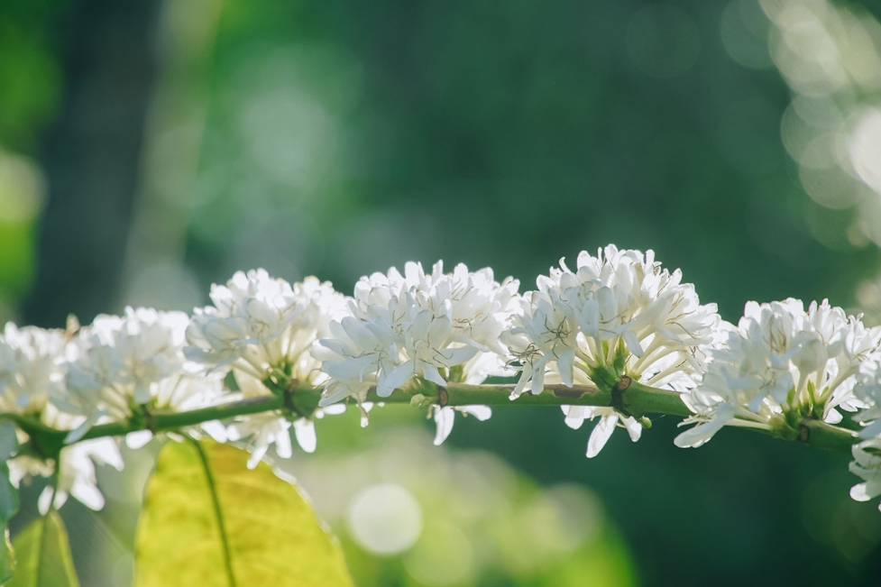 coffee flower season in the eyes of central highland locals