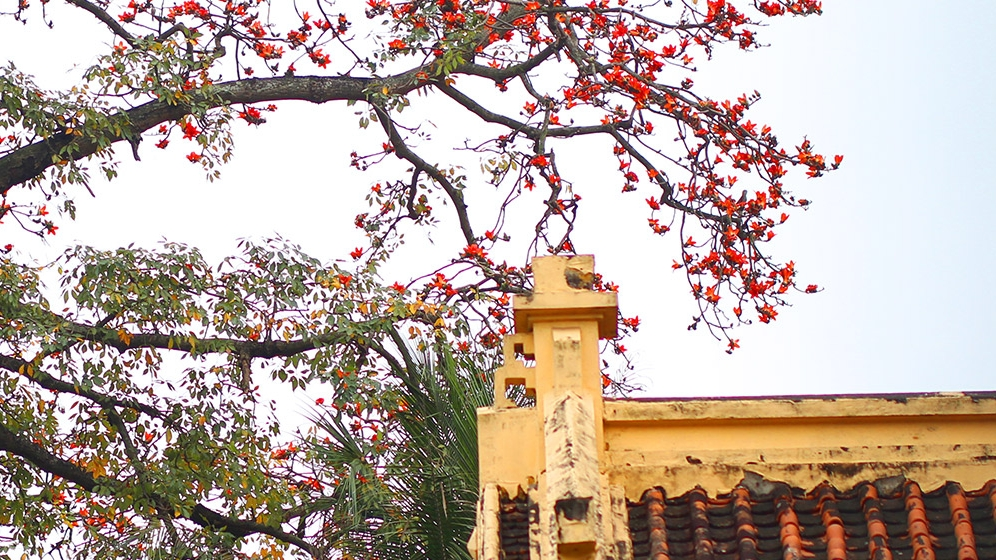 hanoi turns red in the malabar silk cotton flower season