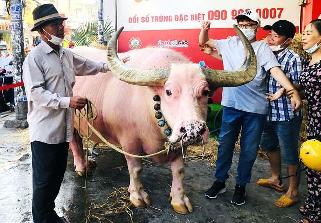 Watch video: Vietnamese pink buffalo got expats' attention