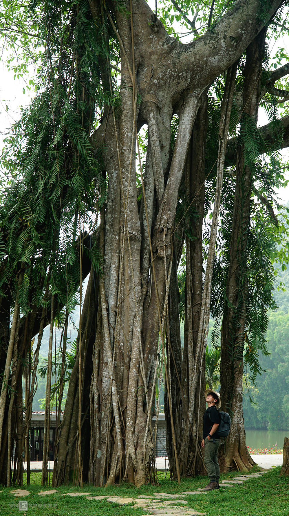 5 giant trees attract tourists across Vietnam