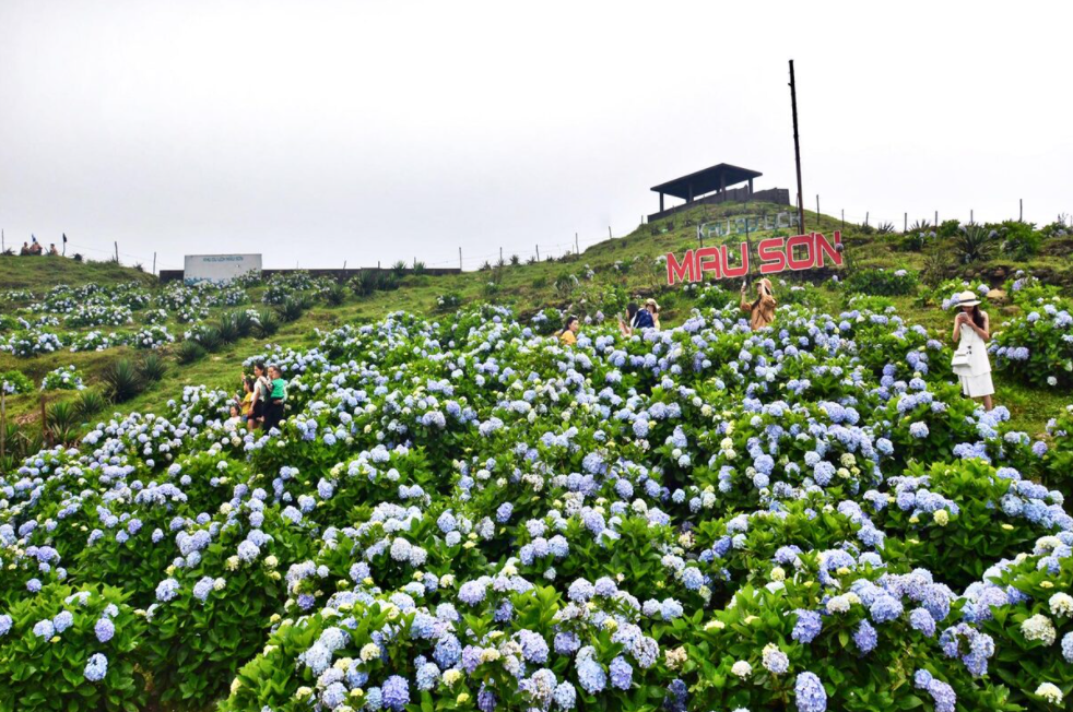 Hydrangea 'carpet' blooms on top of Mau Son