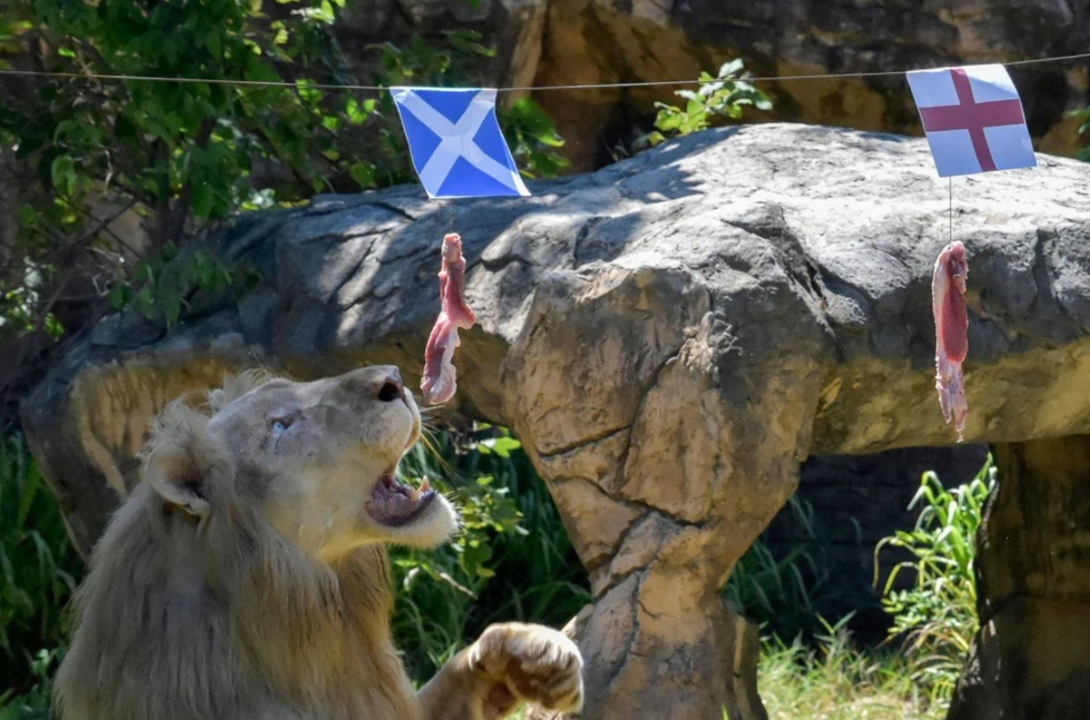 Thai Lion Gets Fame for Correctly Predicts EURO 2020 Results - Video