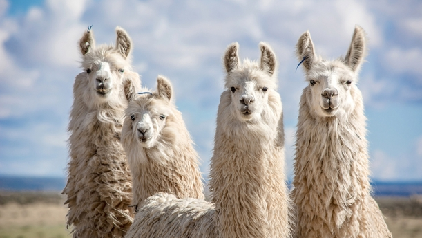 covid 19 updates july 15 could llama antibodies be the key to coronavirus treatment