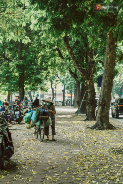 hanoi golden leaf road one of the capitals most famous autumn specialties
